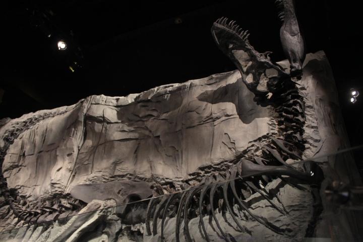 T Rex Fossil, Royal Tyrrell Museum, Drumheller, Alberta, Drumheller Alberta, fossil