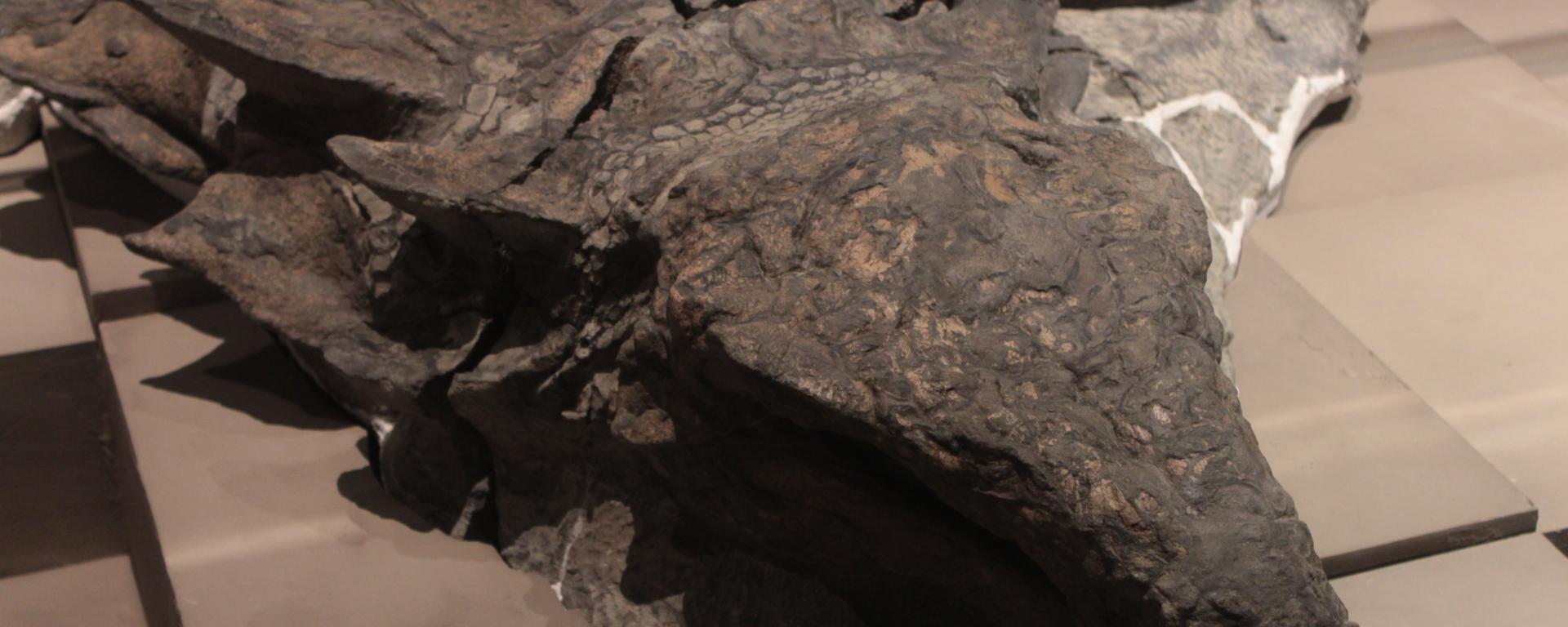 Nodosaur, Alberta, fossil, Royal Tyrrell Museum, Alberta, Drumheller, Canada